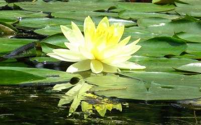De modder en de lotus